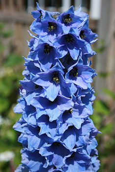 Delphinium - the flower of July