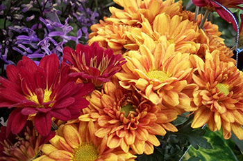 Marigold - the flower of October