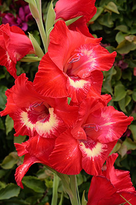 Gladiolus - the flower of August