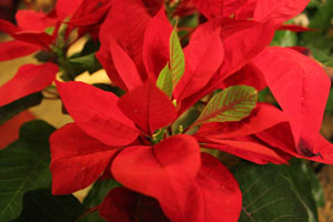 The poinsettia is a favorite flower for Holiday arrangements