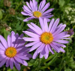 Aster - the flower of September