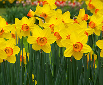 Narcissus  - the flower of December
