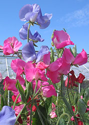 Sweet Pea - the flower of April